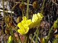 Drosophyllum lusitanicum EnfoqueFlor 2011-5-22 SierraMadrona.jpg