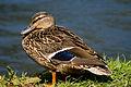 Duck 02.jpg