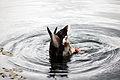 Duck Diving @ National Botanic Garden Of Wales (3707013194).jpg