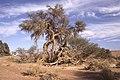 Dunst Namibia Oct 2002 slide142 - Verwicklung.jpg