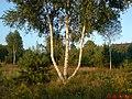 Dziwne drzewo - panoramio.jpg
