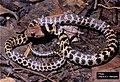 E. poecilogyrus (juvenile).jpg