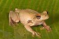 EVERETT'S TIMOR TREEFROG Litoria everetti (juvenile) Meleotegi River, Ermera District, Timor-Leste (USNM 579394).jpg