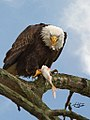 Eagles conowingo (17699615968).jpg