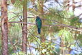 Eared Quetzal (Euptilotis neoxenus) (3323634843).jpg