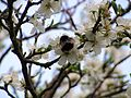 Early queen bumblebee feeding on early spring plum blossom (8 apr 2009) (1).JPG
