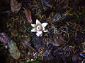 Earth Star (4063594860).jpg