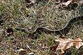 Eastern Garter Snake - Flickr - GregTheBusker (1).jpg