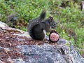 Eastern Gray Squirrel Sciurus carolinensis Lake Juanita WA.jpg