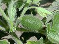 Ecballium elaterium1.jpg