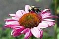 Echinacea purpurea Elton Knight 0zz.jpg