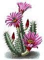Echinocereus enneacanthus ssp brevispinus BlKakteenT70.jpg