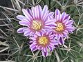 Echinofossulocactus crispatus 4.JPG