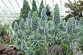 Echium candicans-IMG 1607.jpg