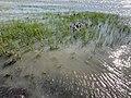 Eel grass, Point Pinole Regional Shoreline, beach.jpg