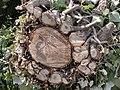 Efeubam gefällt 2004-03-28.jpg