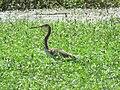 Egretta tricolor (44225060025).jpg