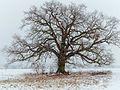 Eiche im Winterkleid EO5P0102-2.jpg