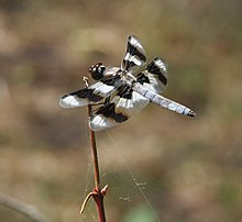 Eight-spotted Skimmer (Libellula forensis).jpg