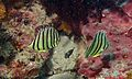 Eightband Butterflyfishes Chaetodon octofasciatus (6135880200).jpg