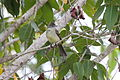 Elaenia flavogaster -Belize-8.jpg