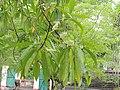 Elaeocarpus sphaericus AJTJ DSCN7079.jpg