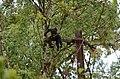Electrocuted lion-tailed macaque infant in Valparai DSC 2567.jpg