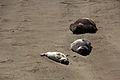 Elephant seals, Piedras Blancas 17.jpg