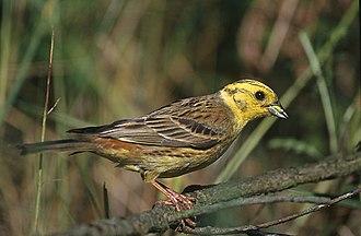 Bunting (bird) - Yellowhammer (Emberiza citrinella)