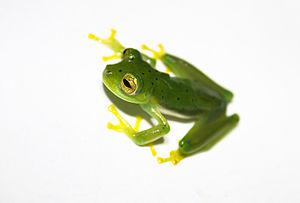 Lissamphibia - Emerald glass frog (Centrolene prosoblepon)