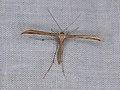 Emmelina monodactyla (36208994903).jpg