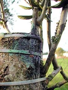 Reproduccion asexual en plantas por injerto de mango