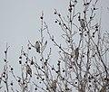 Eophona personata (flocks).jpg