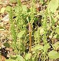 Equisetum arvense 126137618.jpg