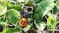 Eresus cinnaberinus Araña saltadora moteada.jpg
