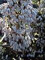 Erica arborea FlowersCloseup 04April2009 DehesaBoyalPuertollano.jpg