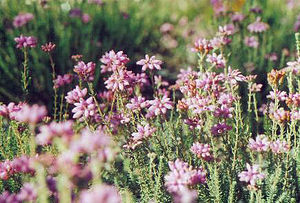 Portlethen Moss - Erica tetralix, a wildflower  found on the Portlethen Moss