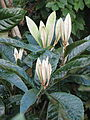 Eriobotrya japonica new shoots (10399247135).jpg