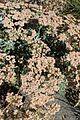Eriogonum giganteum kz3.jpg