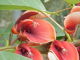 Erythrina crista-galli3.jpg