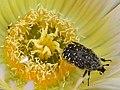 Escarabello voador.jpg