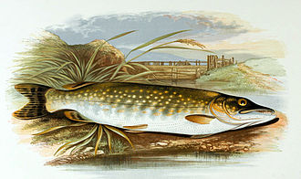 Northern pike - Drawing of northern pike