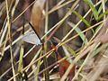 Euchrysops cnejus (Gram Blue) (4104710003).jpg