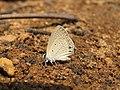 Euchrysops cnejus Fabricius, 1798 – Gram Blue at Aralam Wildlife Sanctuary 2016 (11).jpg