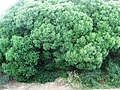 Euclea racemosa - Sea Guarrie tree - Cape Town 1.JPG