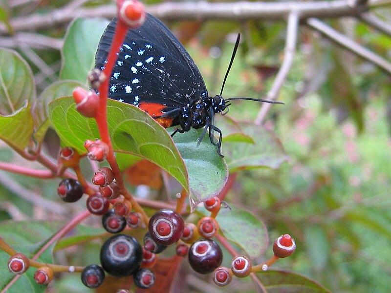 An Atala butterfly sitting in a fire bush, Secret Woods Nature Center