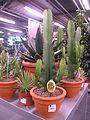 Euphorbia acrurensis.jpg