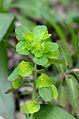 Euphorbia amygdaloides (7313821348).jpg