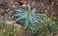 Euphorbia characias, Sète 01.jpg