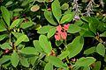 Euphorbia milii in Tropengewächshäuser des Botanischen Gartens 03.jpg